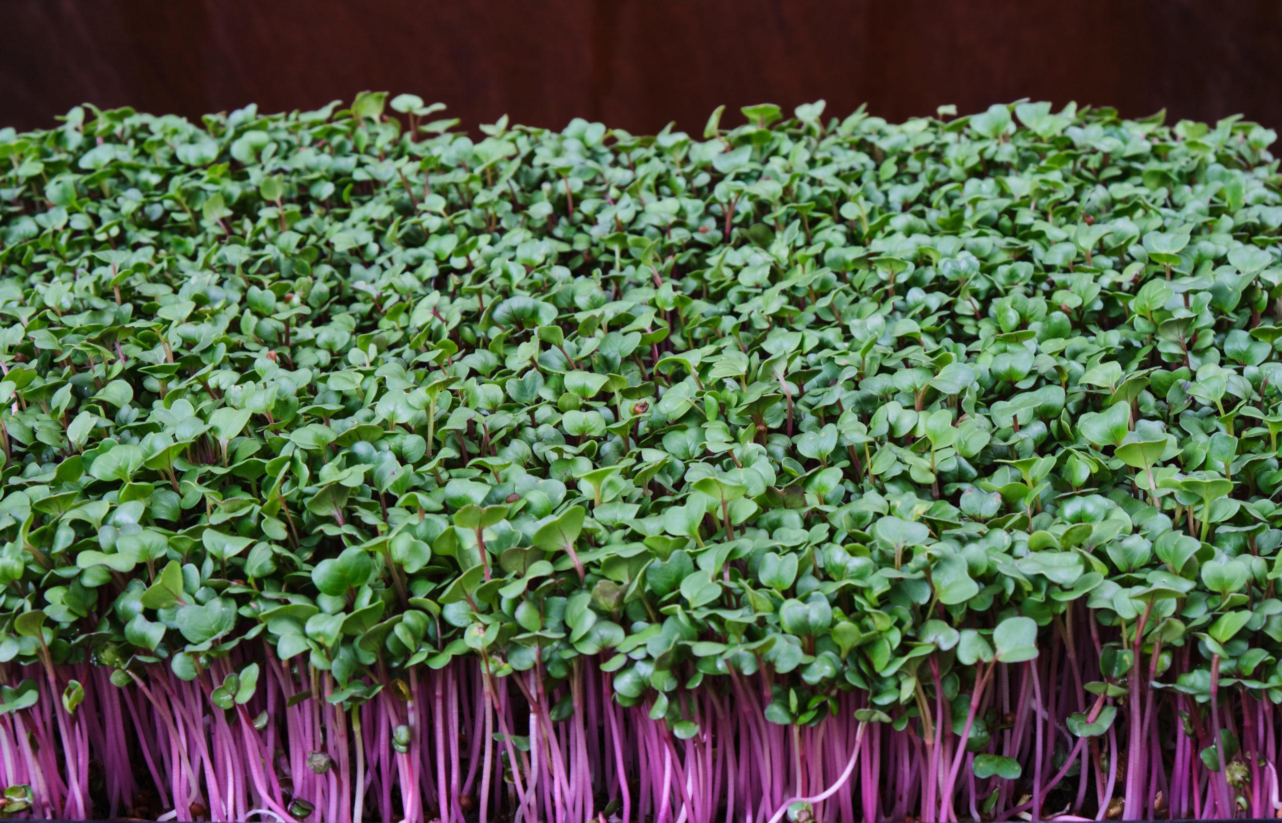Micro-pousses Radis rose